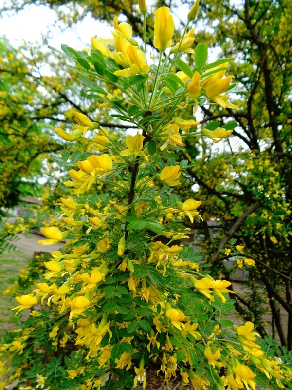 10 Krzewow O Zoltych Kwiatach