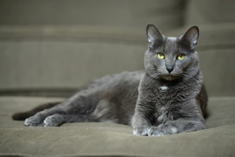 korat cat - all you want to know about korat cats