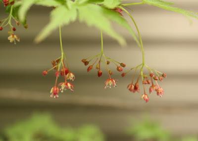 カエデの花