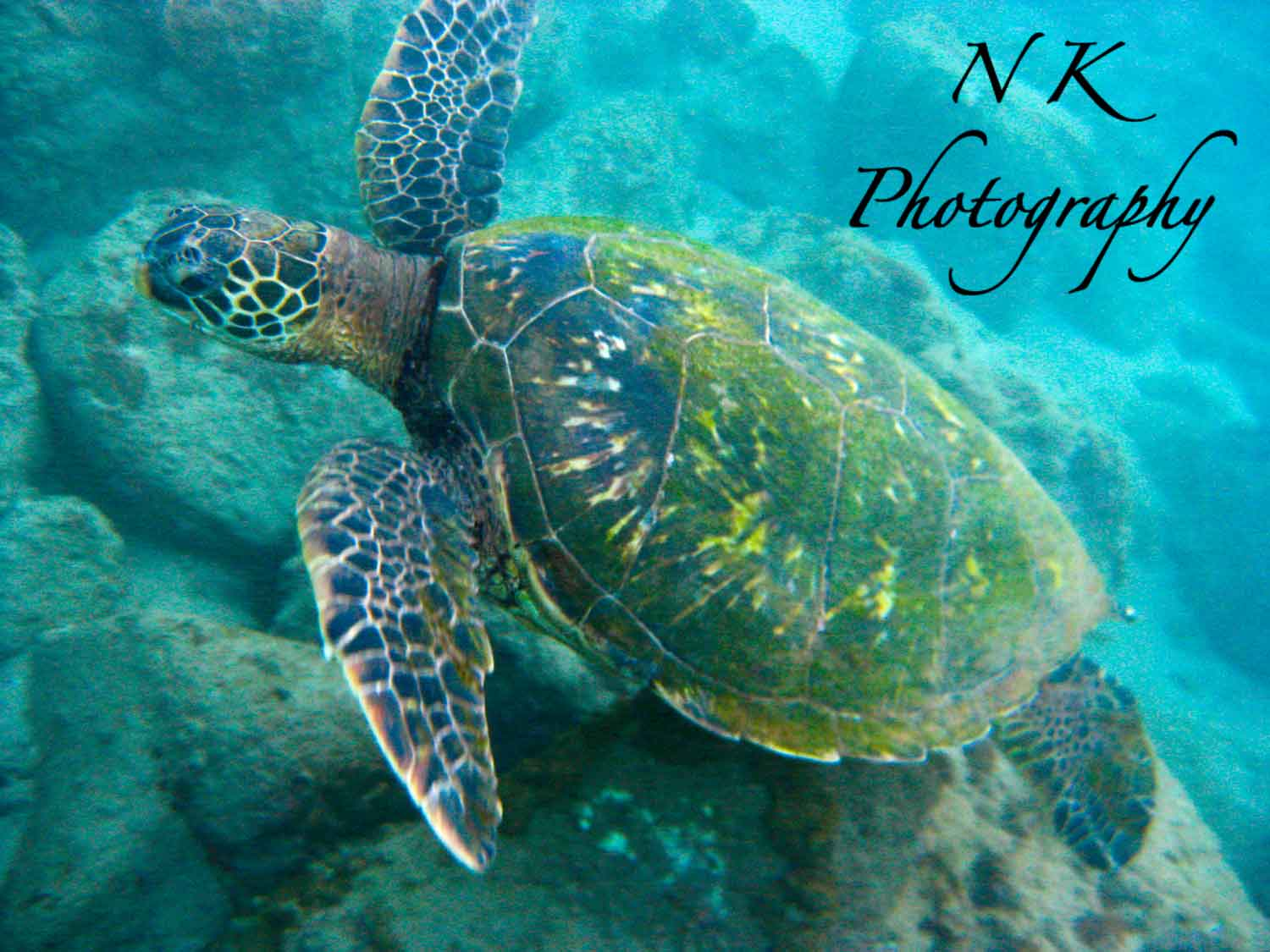 The gallery for --> Cute Baby Green Sea Turtles Swimming - photo#38