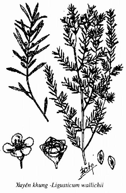 Hình vẽ Xuyên Khung - Ligusticum wallichii - Nguyên liệu làm thuốc Chữa Cảm Sốt