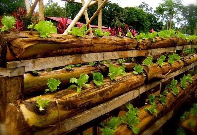 Batang pisang sebagai media tanam sayuran
