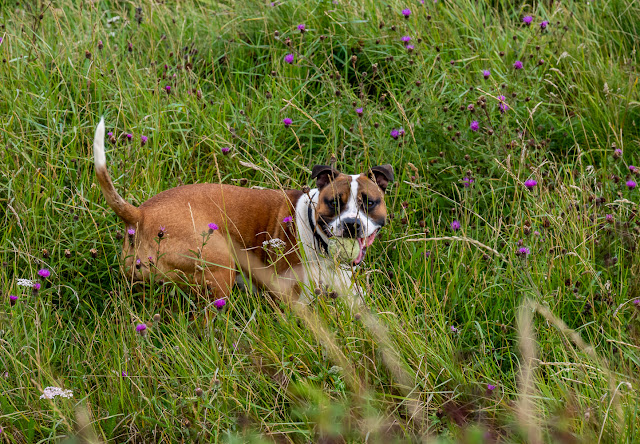 Photo of Ruby playing in the long grass before her latest ear infection