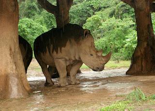 Badak Bercula Dua - Taman Safari Bogor