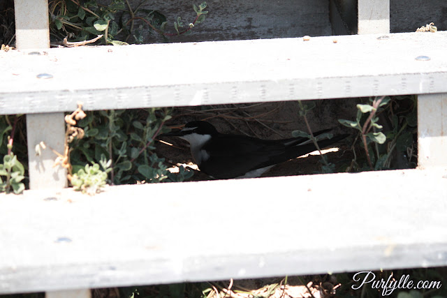bridle tern seeking shade under stairs