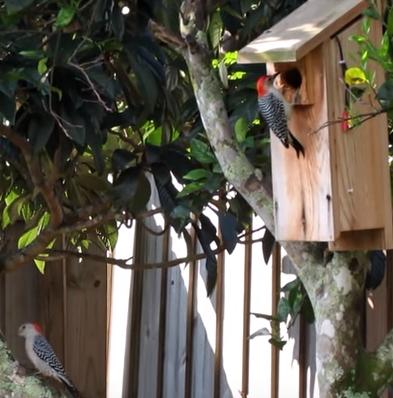 Wild Birds Unlimited Woodpecker Damage A Simple Solution
