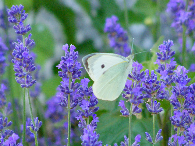 Large White Pieris brassicae on lavender.  Indre et Loire, France. Photographed by Susan Walter. Tour the Loire Valley with a classic car and a private guide.