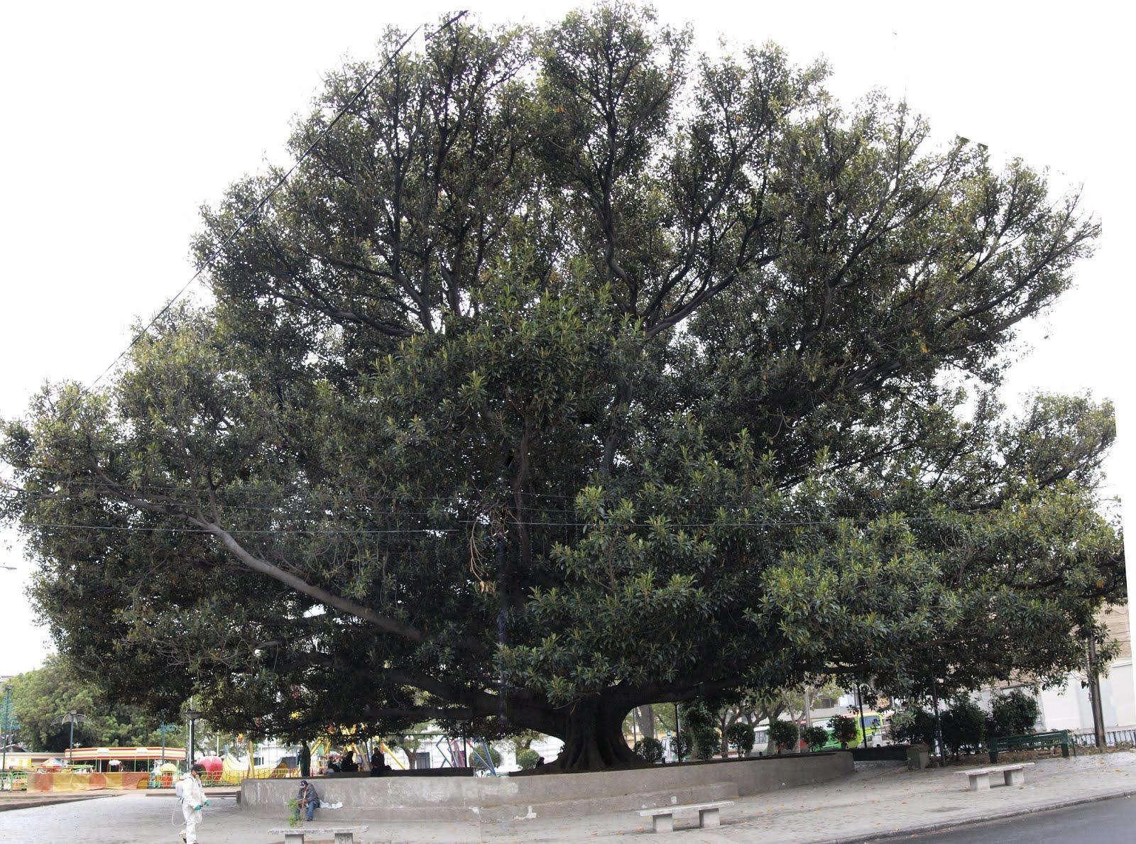Ventana Verde: Arboles Notables De Las Plazas Victoria Y