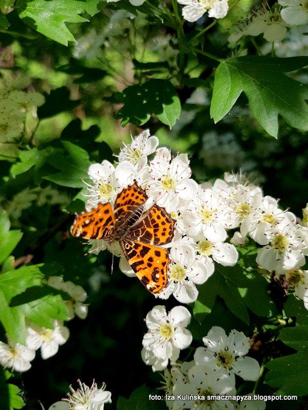 motylek, kwiatki, na kwiatkach, dostojka, rusalka, wiosna, owady, motyle