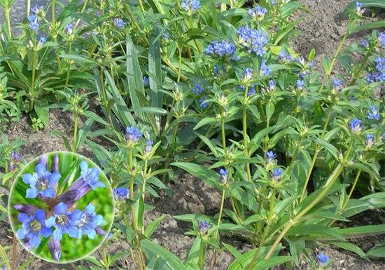 Gentiana macrophylla