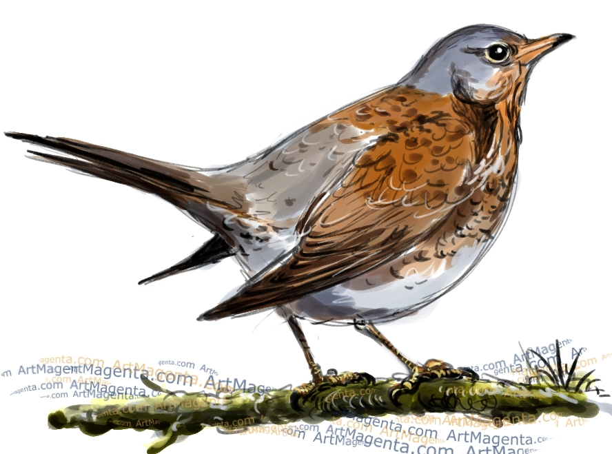 Fieldfare sketch painting. Bird art drawing by illustrator Artmagenta