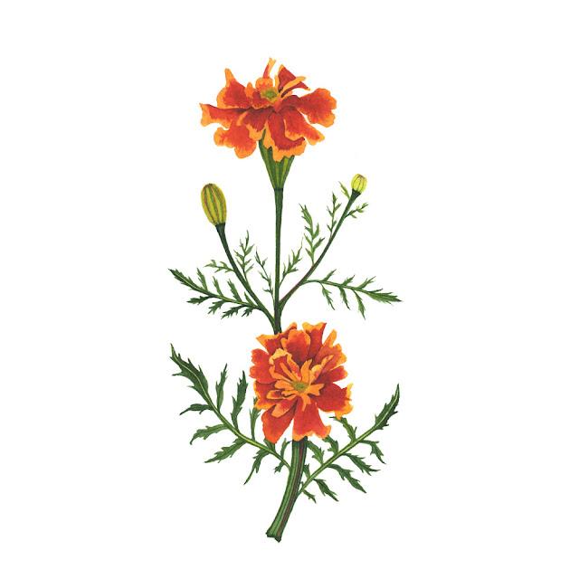 marigolds, botanical watercolor, watercolor painting, watercolor marigolds, botanical illustration, Anne Butera, My Giant Strawberry