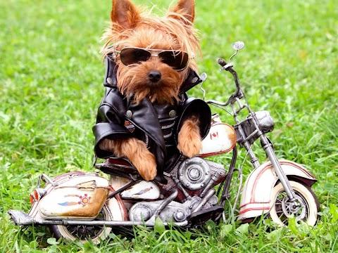 Chú Chó Biker