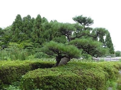 花博記念公園鶴見緑地 日本庭園 睡蓮池 松