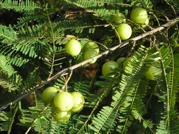Quả Cây Me Rừng - Phyllantus emblica - Nguyên liệu làm thuốc Chữa Cảm Sốt
