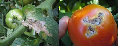 Tomato Ebola (Tuta absoluta)