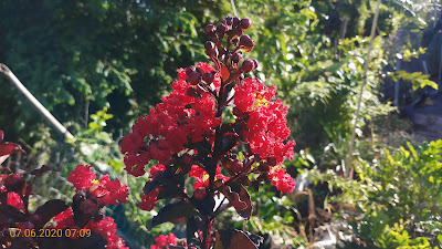 Cây tường vi đỏ huyết long nở hoa ở đầu tháng 06/2020