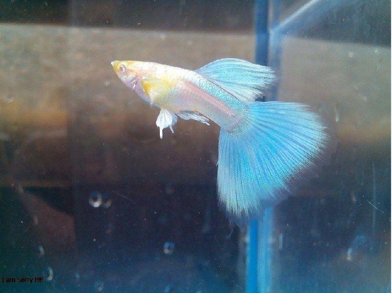 Ikan Guppy dan Harganya sekarang Ini