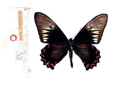 Mariposa polysticto (Battus polystictus)