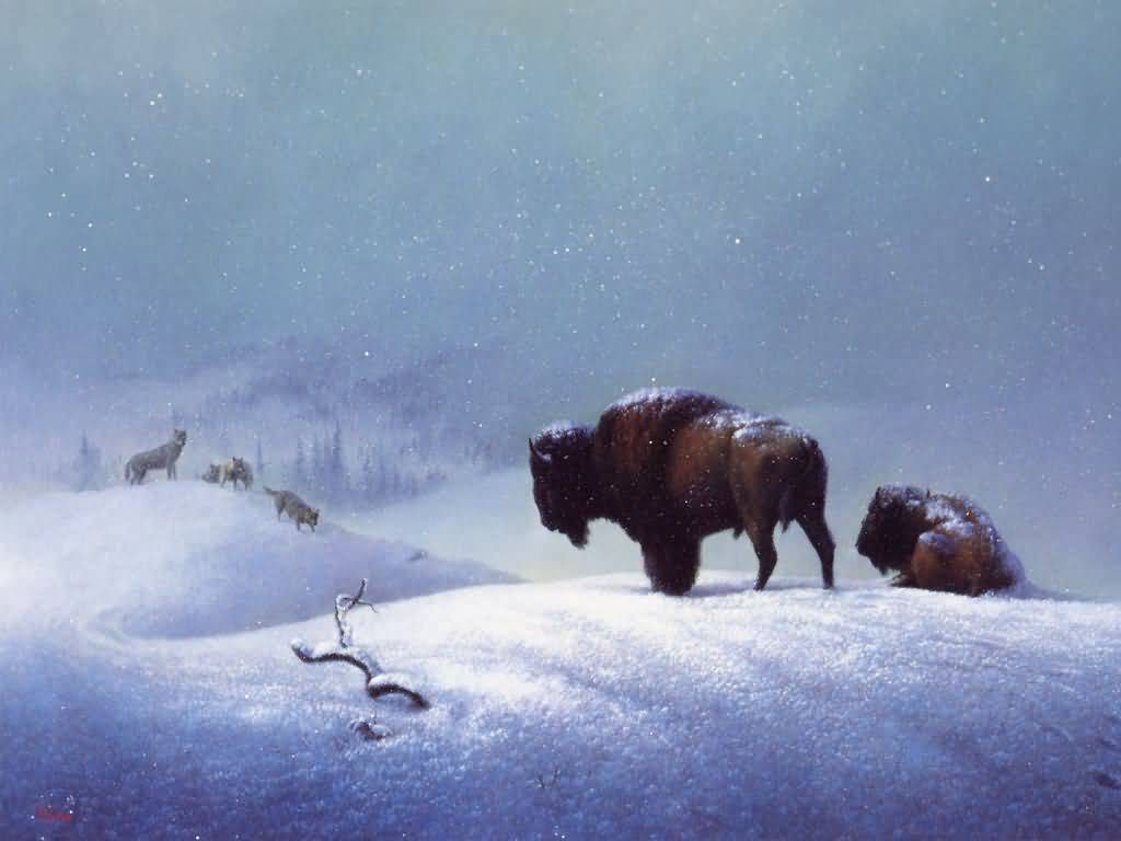 Beautiful Wildlife pictures | American Bison | cini clips