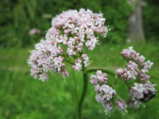 Popular Ayurvedic Medicines/Plants-Valerian