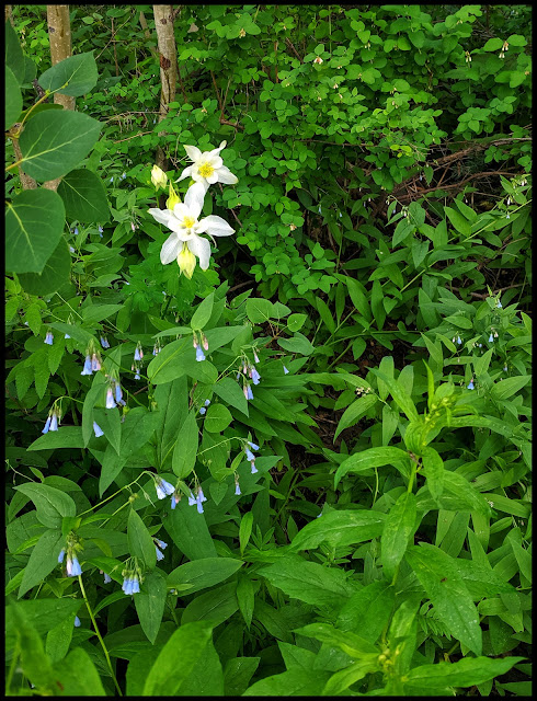 Enjoying Columbine and Blue Bells on my walk around the Lake