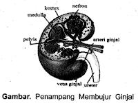 Ringkasan Materi IPA SMP: Sistem Organ Pada Manusia - Bagian 5 (Materi, Contoh Soal dan Pembahasan)