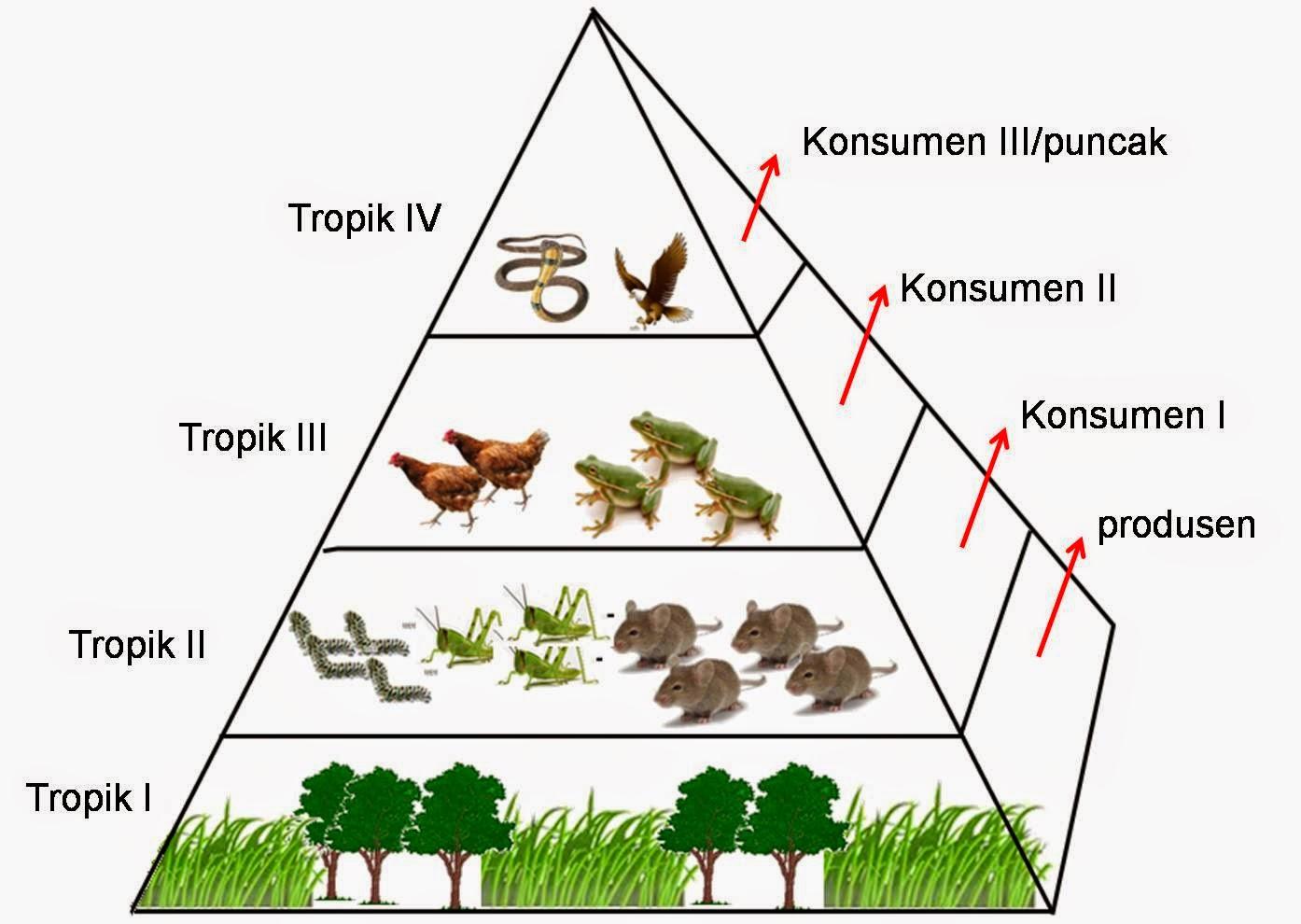Perbedaan Piramida Energi Biomassa Dan Piramida Jumlah