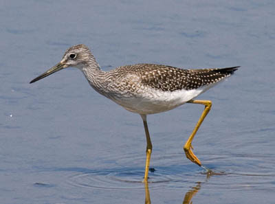 Photo of a Greater Yellowlegs with legs bent strongly at the ankle--not the knee!