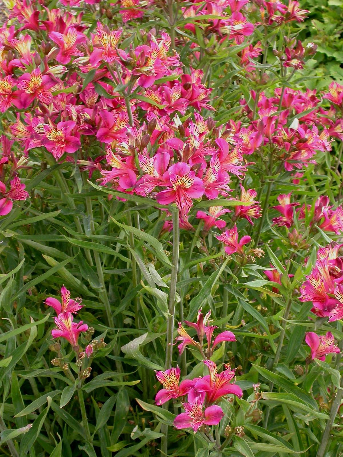 alstroemeria the lily of the incas kinds of ornamental