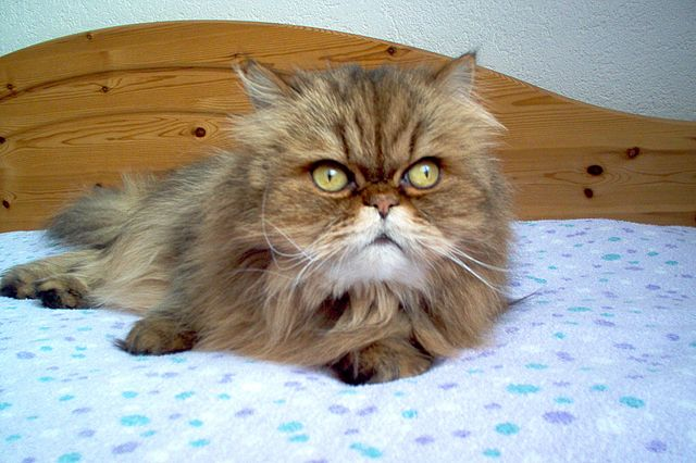 persian cats images cat pictures