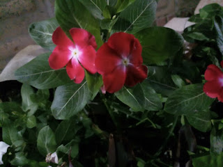 Red Madagascar Periwinkle flower