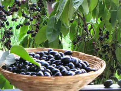 Eating Black plum during pregnancy