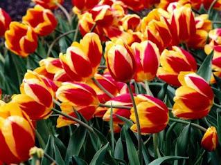اجمل صور ورد زنبق في العالم