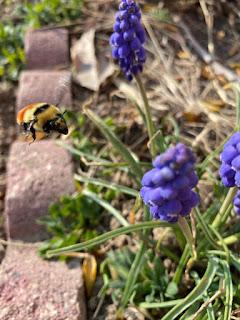 Bumble Bee Flying Towards Grape Hyacinth