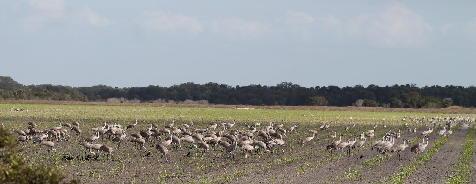 Concentración de Grullas Grus Canadensis o Sandhill Cranes.