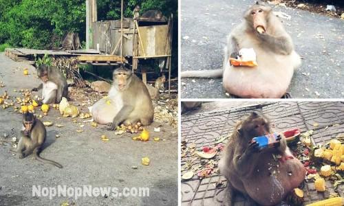 Kasihan Uncle Fatty Nama Julukan Monyet Obesitas Harus Menjalani Perawatan