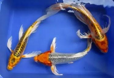Ikan Koi Jenis Kumpay Slayer