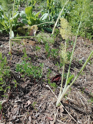 Maggio nell'orto biologico: finocchi e lenticchie
