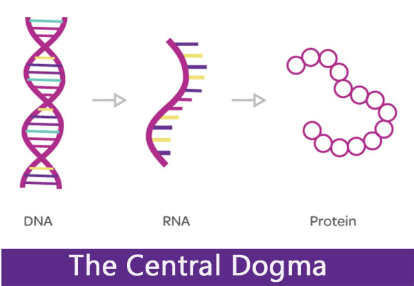 The Central Dogma; Process of Transcription and Translation (DNA to RNA) - Biotechnology-BS Applied Bio Sciences Semester-1