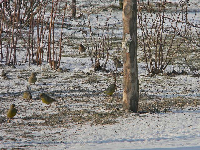 dokarmianie ptaków, karmnik, zima, ptaki