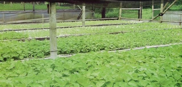 30 Juta Perbulan Lewat Budidaya Sayuran Organik Menggunakan Sistem Aeroponik