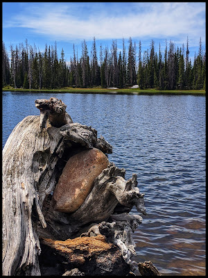 Interesting Rock tangled up in Root system of Dead Tree Crystal Lake