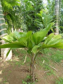 Palmier cuillère - Palmier éventail - Licuala grandis