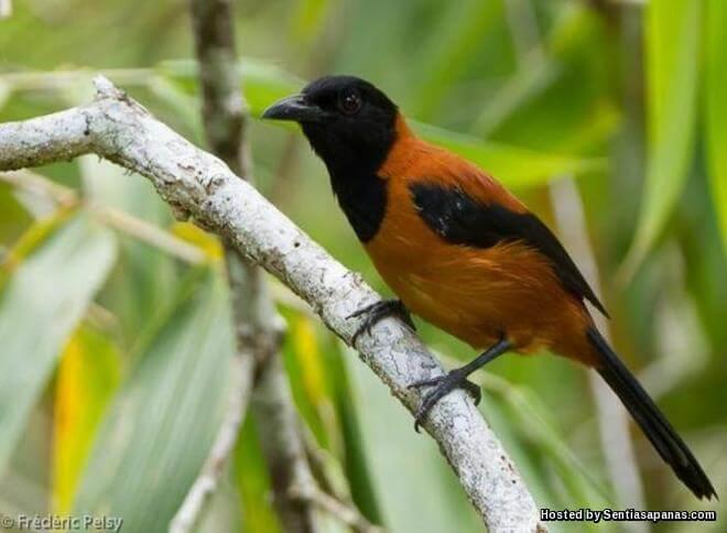 Spesis Hooded Pitohui Burung Paling Beracun Di Dunia!