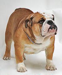 pescoço bulldog
