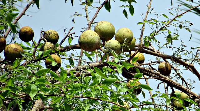 बेल के फल के फायदे