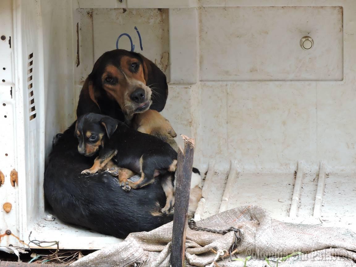 perra con perros pequeños alimentandolos