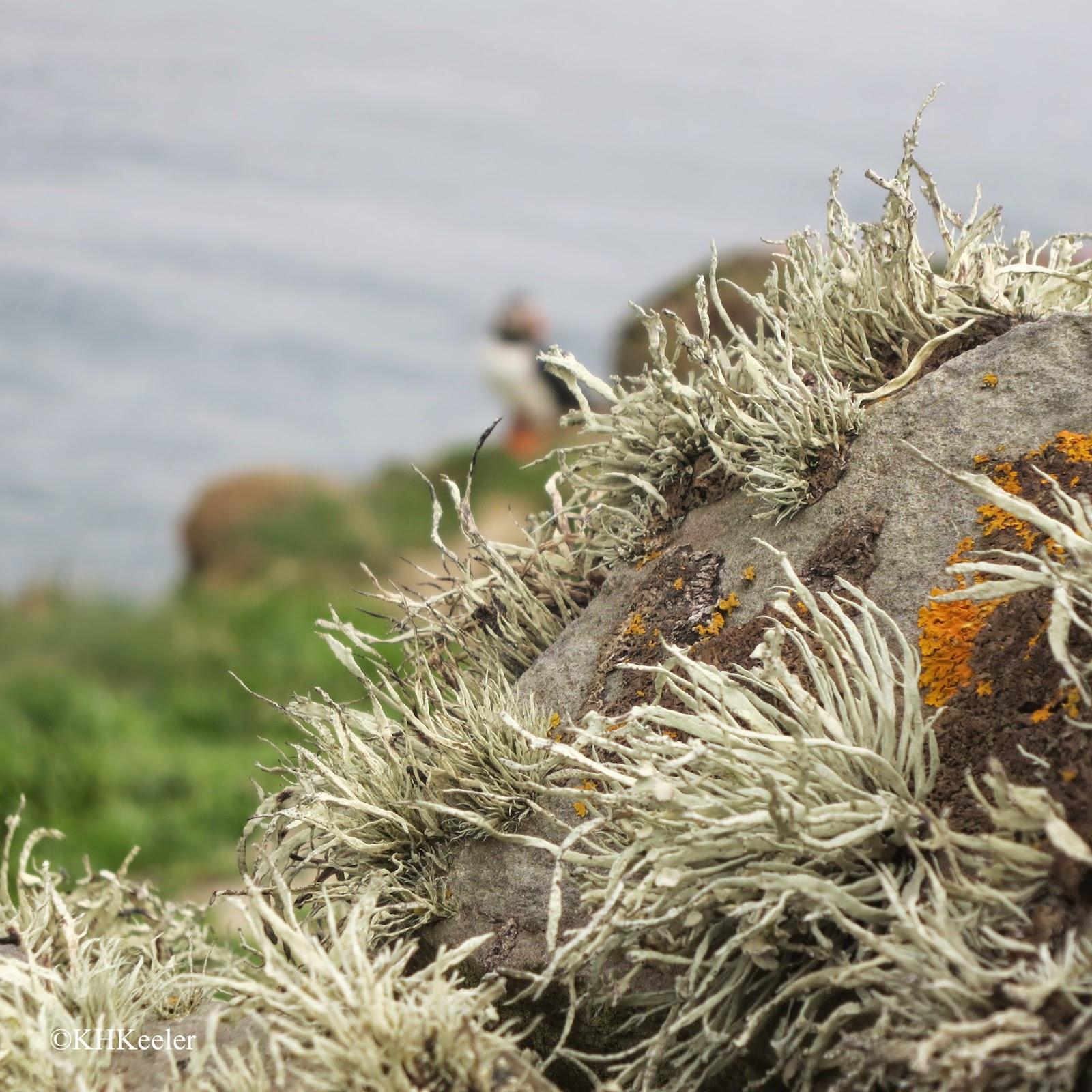 lichens, Shetland