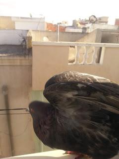 اجمل صور حمام - صور الحمام Pigeon